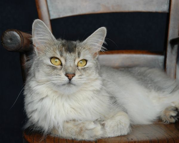 024cce7e9d Somali Cat With Green Eyes