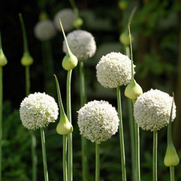 ail d 39 ornement allium white cloud d co jardin jardins blancs jardins et bulbes. Black Bedroom Furniture Sets. Home Design Ideas