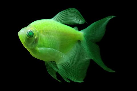 Glofish Long Fin Electric Green Tetra Tropical Fish