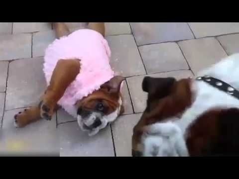 Funny French Bulldog Puppy Can T Get Up French Bulldog Funny