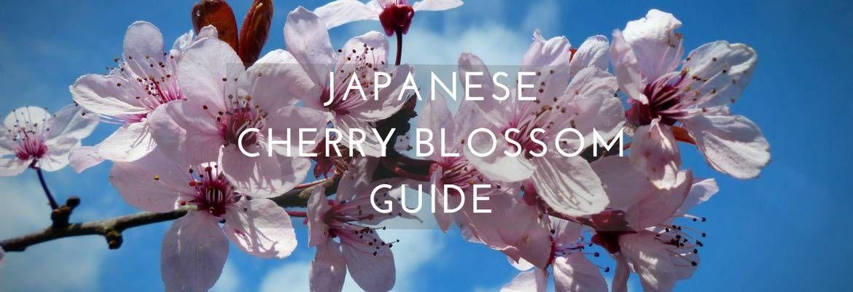 Japanese Cherry Blossom Guide Sakura Season In Japan Asocialnomad In 2021 Japanese Cherry Cherry Blossom Japan Japanese Cherry Blossom