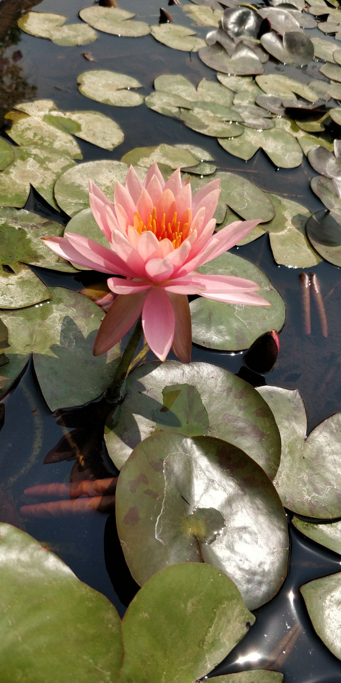 lotus the national flower of india. | lotus | plant leaves, flowers