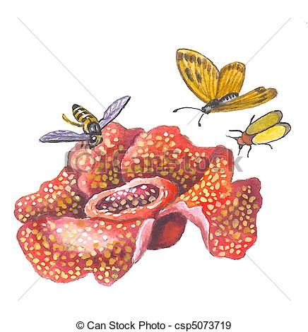 Stock Illustration Of Rafflesia The Hugest And Smelly Flower In The World Csp5073719 Search Vector Clipart Drawings I Flower Drawing Drawings Illustration