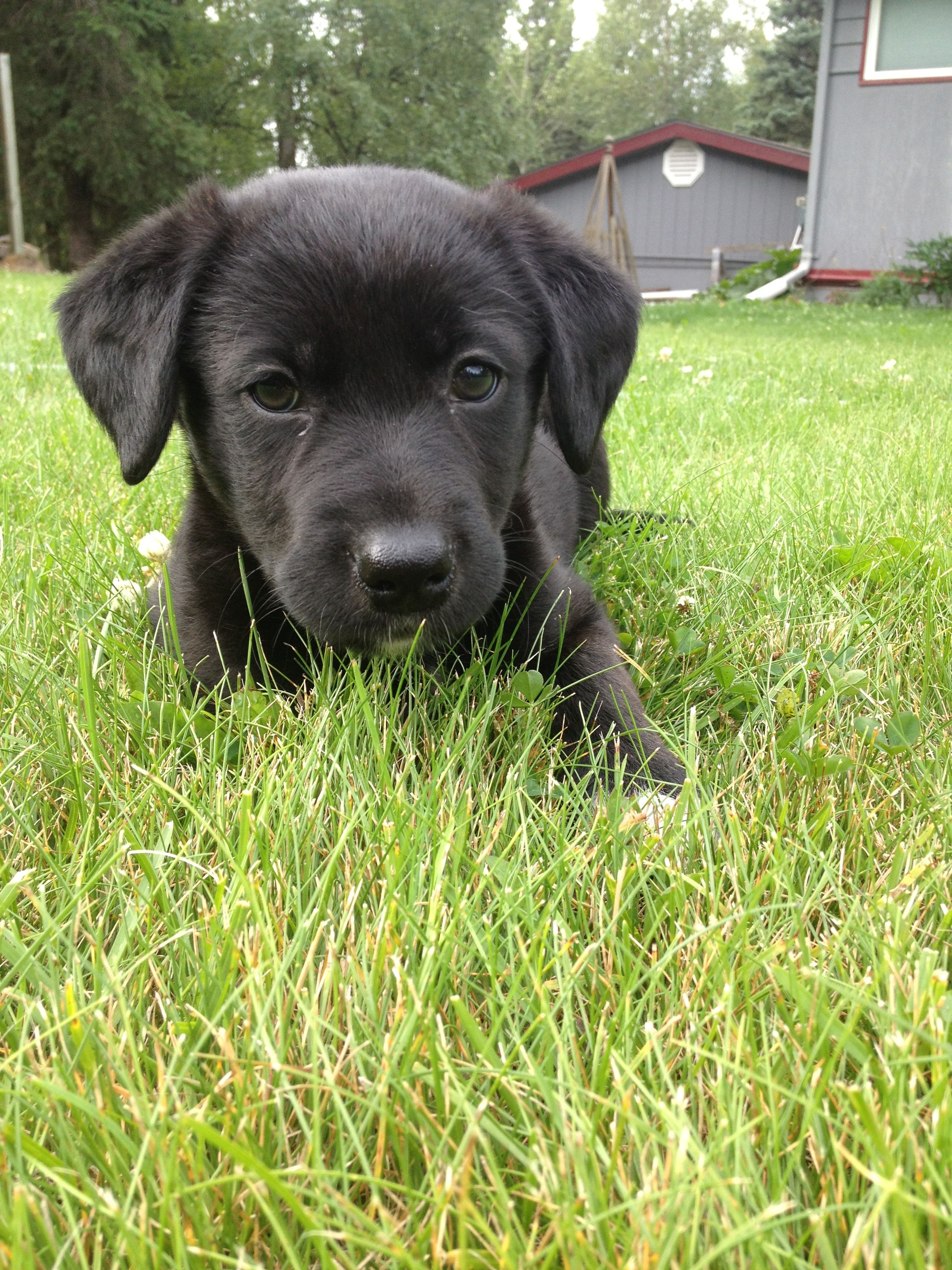 Black Lab Huskie Mix This Is My Rescue Puppy She S 8 Weeks Old And The Runt We Named Her Oreo Because Of Her Black And Whit Rescue Puppies Puppies Big Dogs