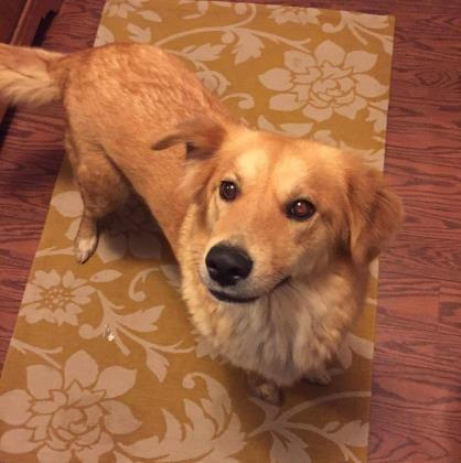Adopt Lovey On Dogs Golden Retriever Retriever Dog Dogs