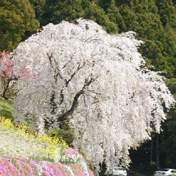 White Fountain Weeping Cherry Tree Seeds Diy Home Garden Dwarf Tree Beautiful And Elegant 10pcs Lot In Bonsai From Weeping Cherry Tree Dwarf Trees Tree Seeds