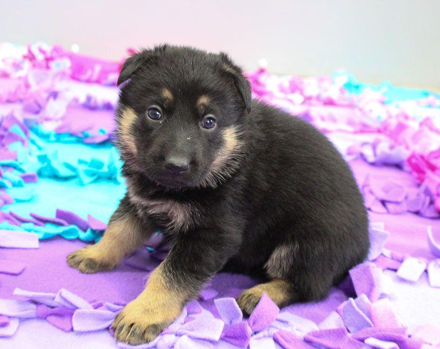 Susie Akc German Shepherd Puppie For Sale Near New Haven