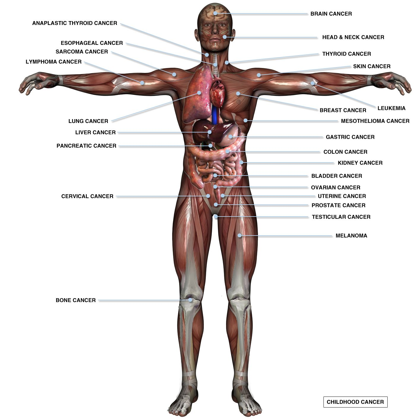 Cancer And The Human Body An Inside Look National Foundation For
