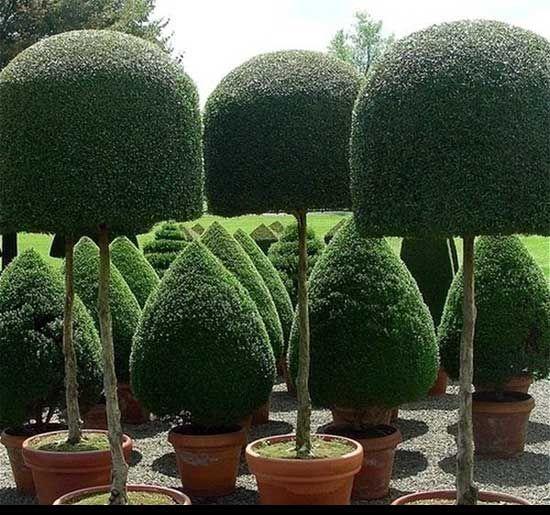 Creative Privet Hedge Google Search Beautiful Gardens Dream