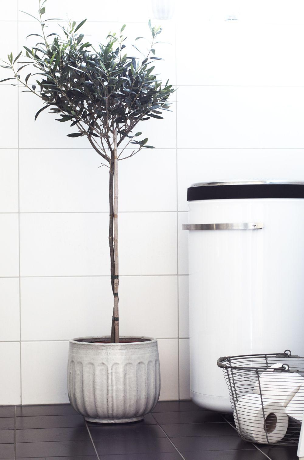 Olive Tree Olivtrad Vaxter Krukor