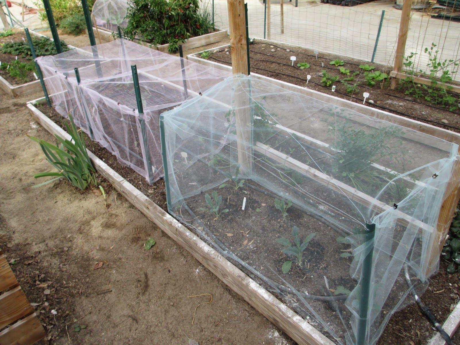 Making Bigger Cabbage Row Covers Veggie Garden Broccoli Plant