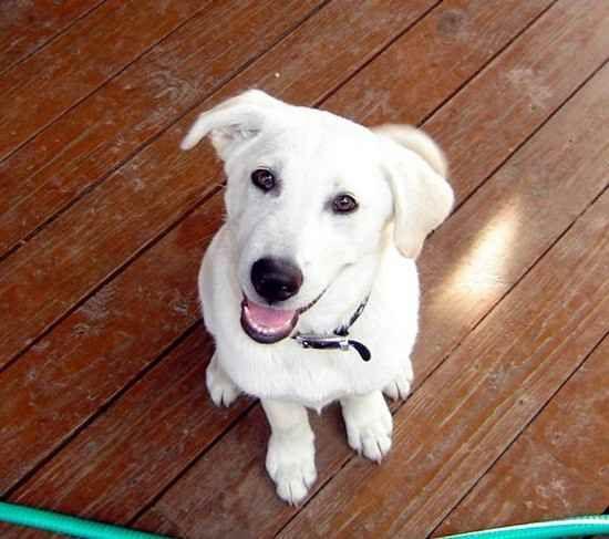 Labrashepherd Sheprador German Shepherd Dog X Labrador