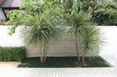 Dracena Indivisa Verde Diseño De Parque Pinterest Garden