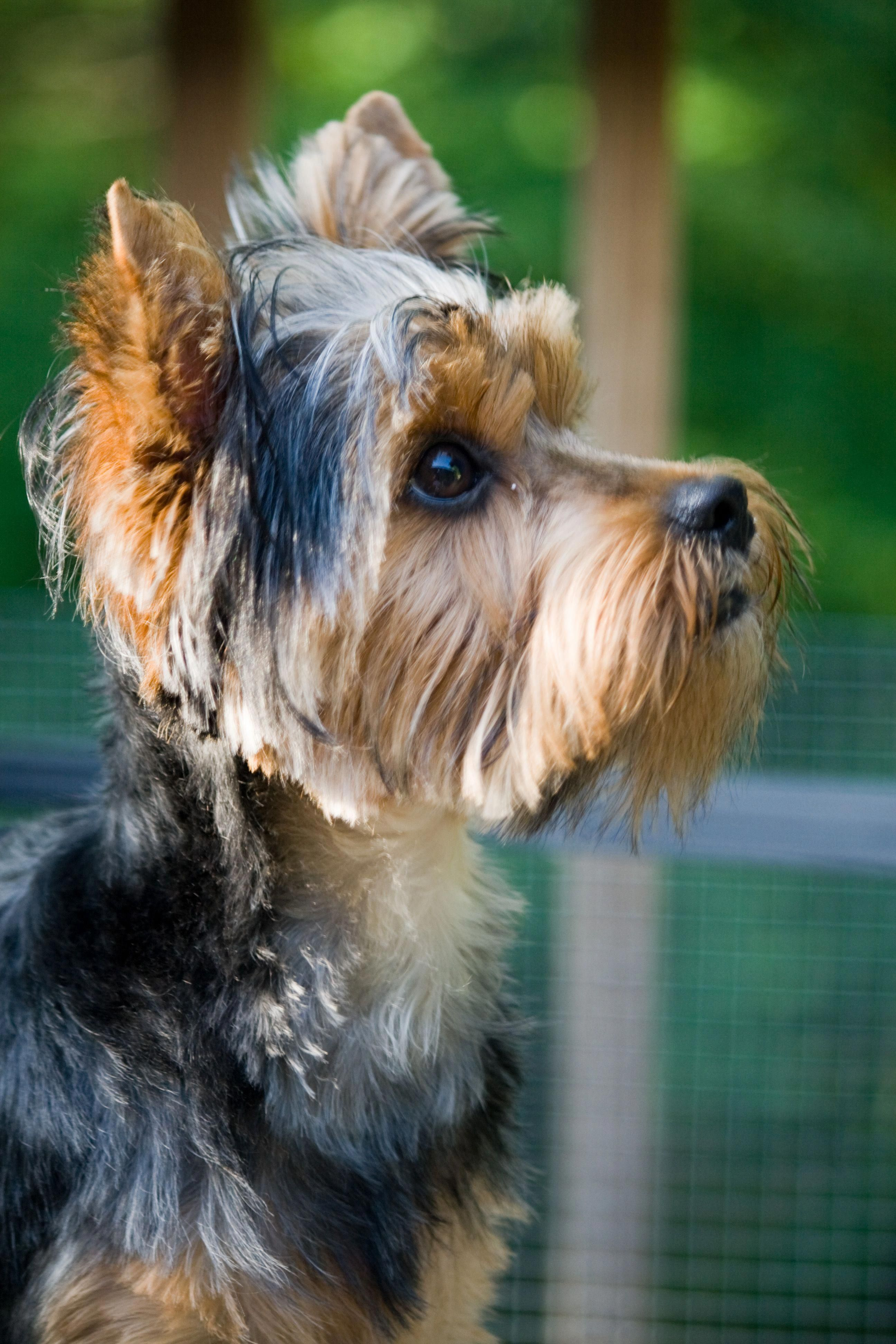 Romeo Yorkshire Terrier Puppy Dogs Yorkie Pup Yorkshireterrierpuppies Yorkshire Terrier Puppies Yorkie