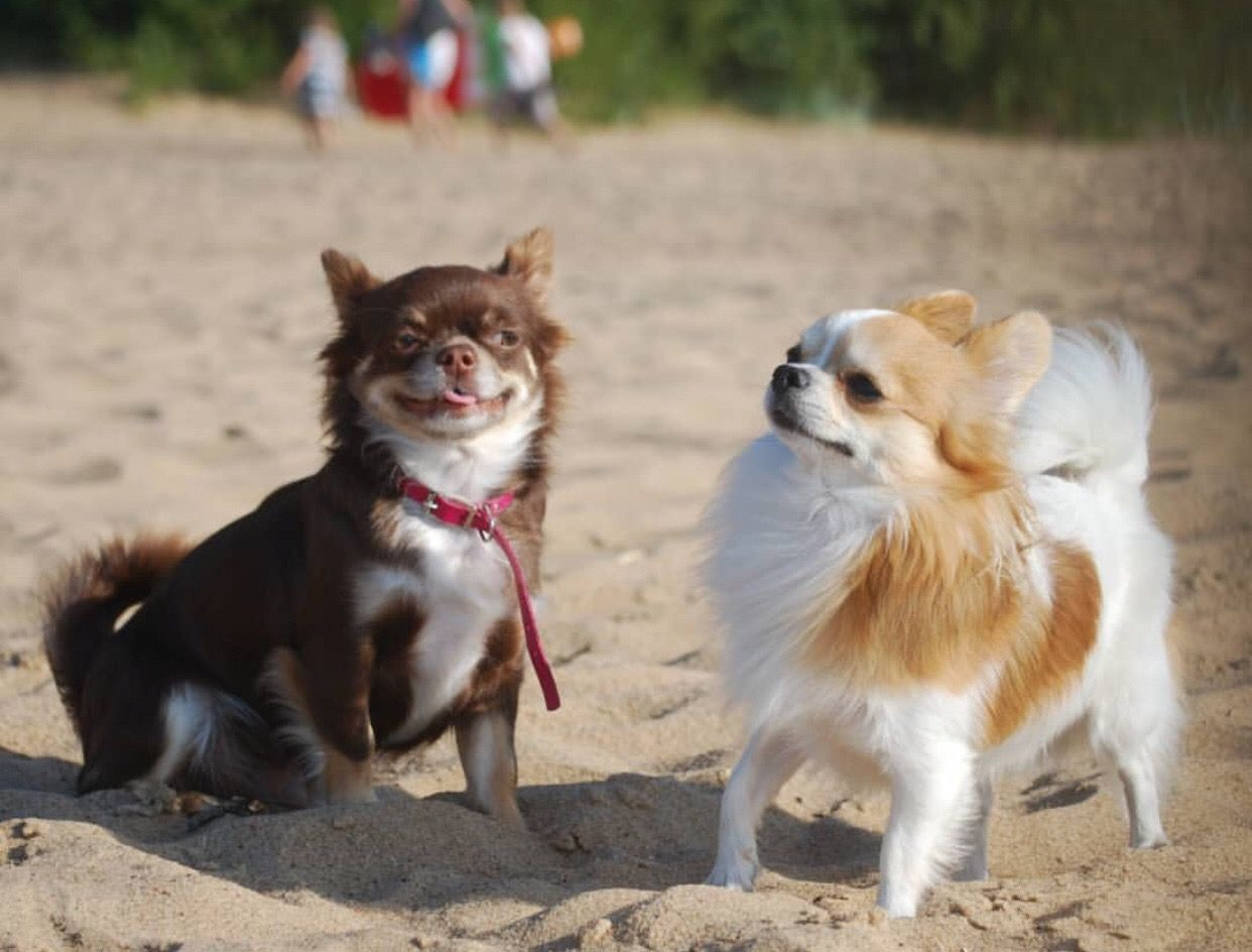 Chihuahua Dog Chiwawa Dog Information Chihuahua Dogs
