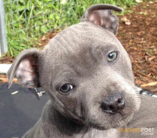 Blue English Staffy Pup Cute Animals Nanny Dog Puppies