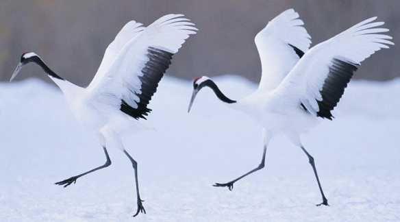 japanese crane symbolism - Google Search   Cranes & Koi
