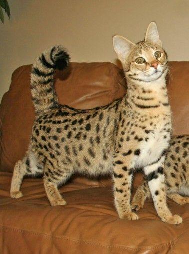 F1 Serval Queen Savannah Chat Cats Savannah Cat