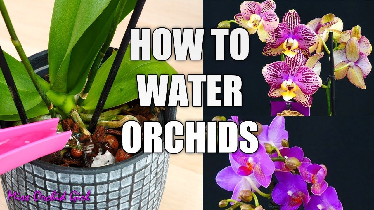 Orchid Care For Beginners How To Water Phalaenopsis Orchids Youtube Orchids In Water Orchid Care Phalaenopsis Orchid Care
