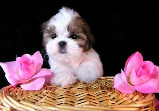 Shih Tzu Pictures Cute Puppies Shih Tzu Puppy Teacup Puppies