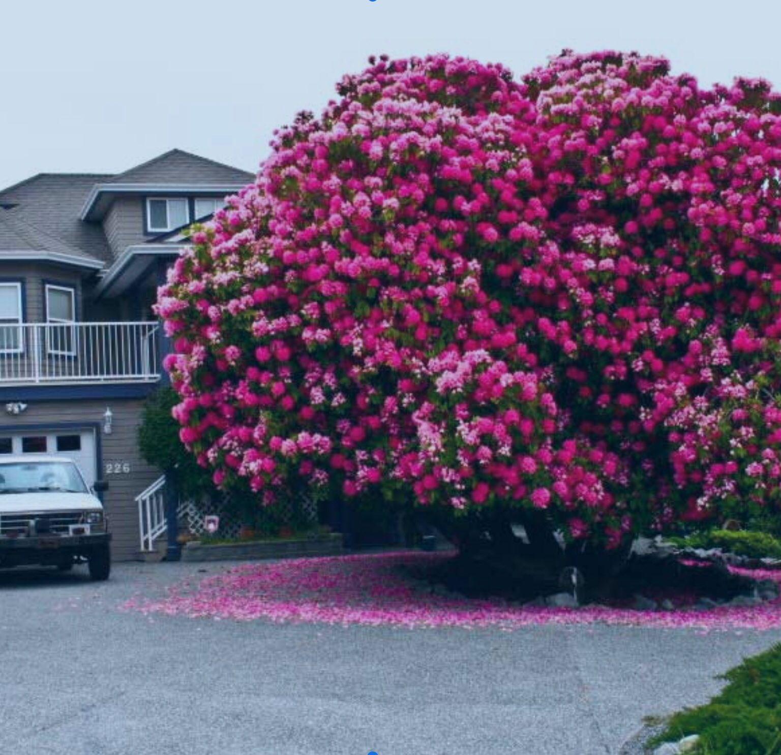 Rododendro trees in bloom arboles con flor pinterest - Rododendro arbol ...