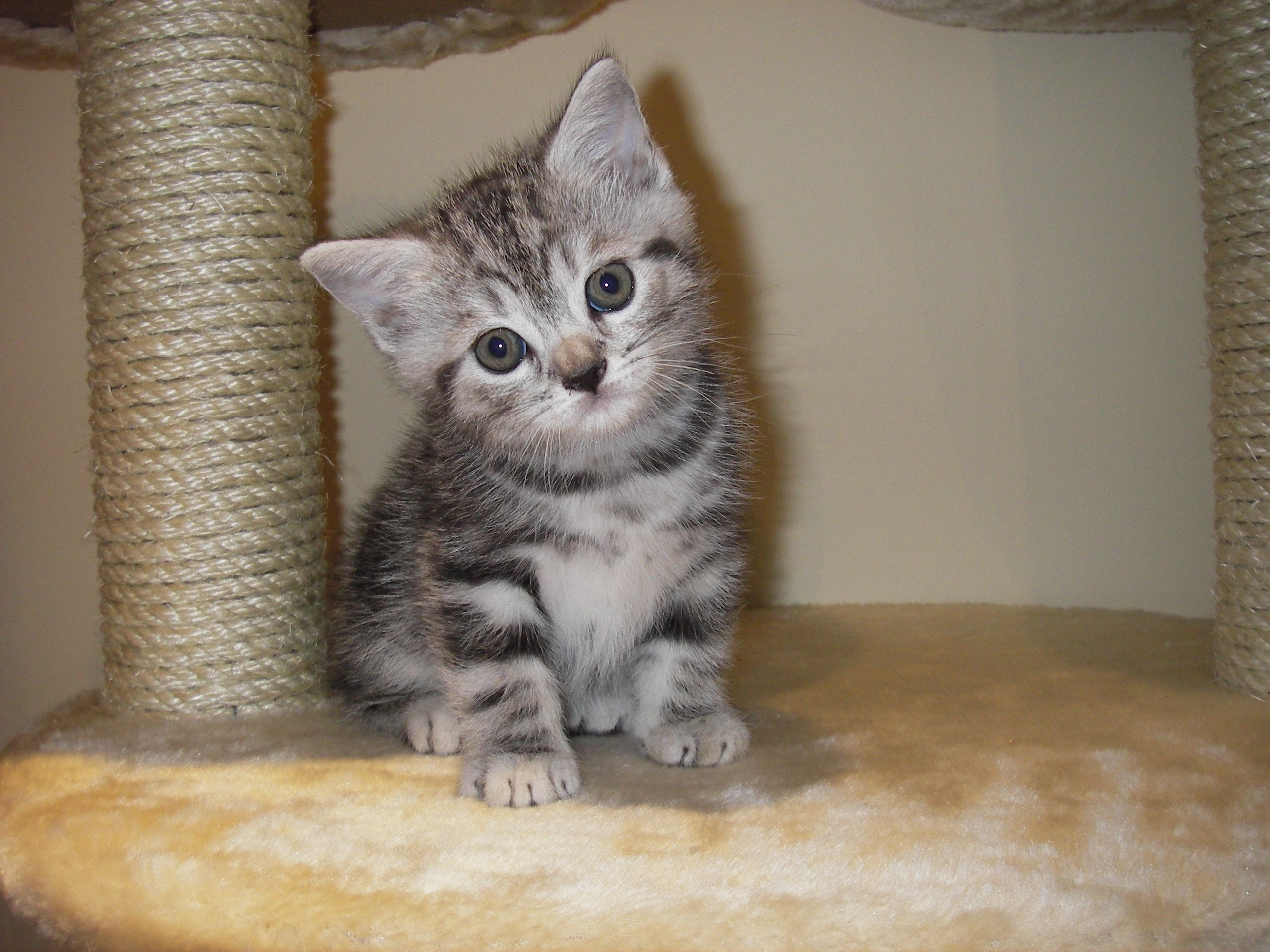 Sweet Face Kittens Cutest Silver Tabby Cat Kittens