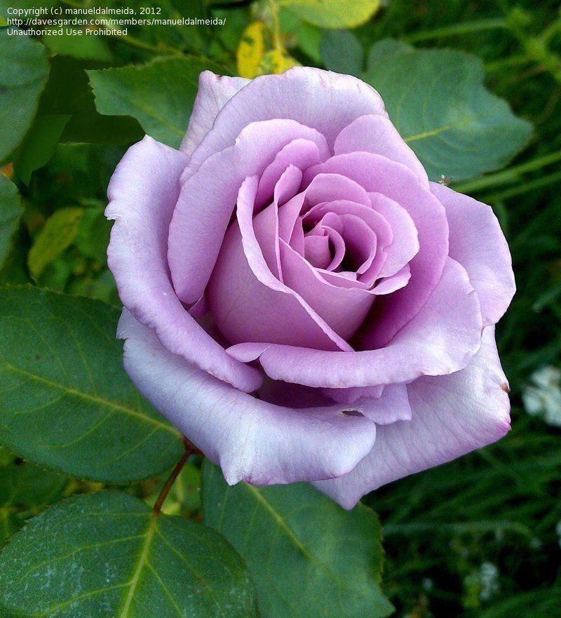 Rosa Bush Rose Hybrid Tea Blue Moon Potted