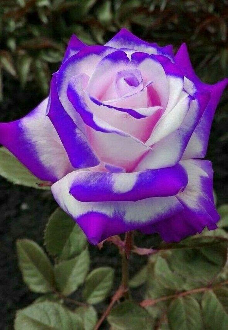 Редкие розы фото