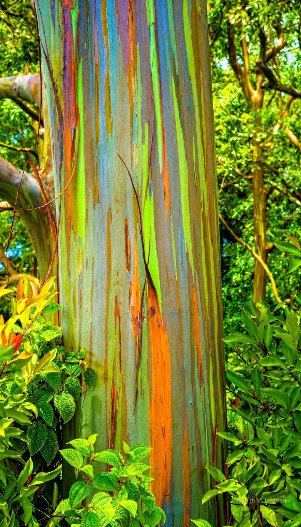 rainbow eucalyptus | Trees | Bark, Branches, Leaves & Form ...