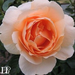 Abbaye de Cluny®™ rose.  Delicate, rich, apricot tones with cupped antique-style blooms. A spicy fragrance fills the air around this lovely rose. The blooms are immense in size. A vigorous yet compact plant with deep-green foliage.