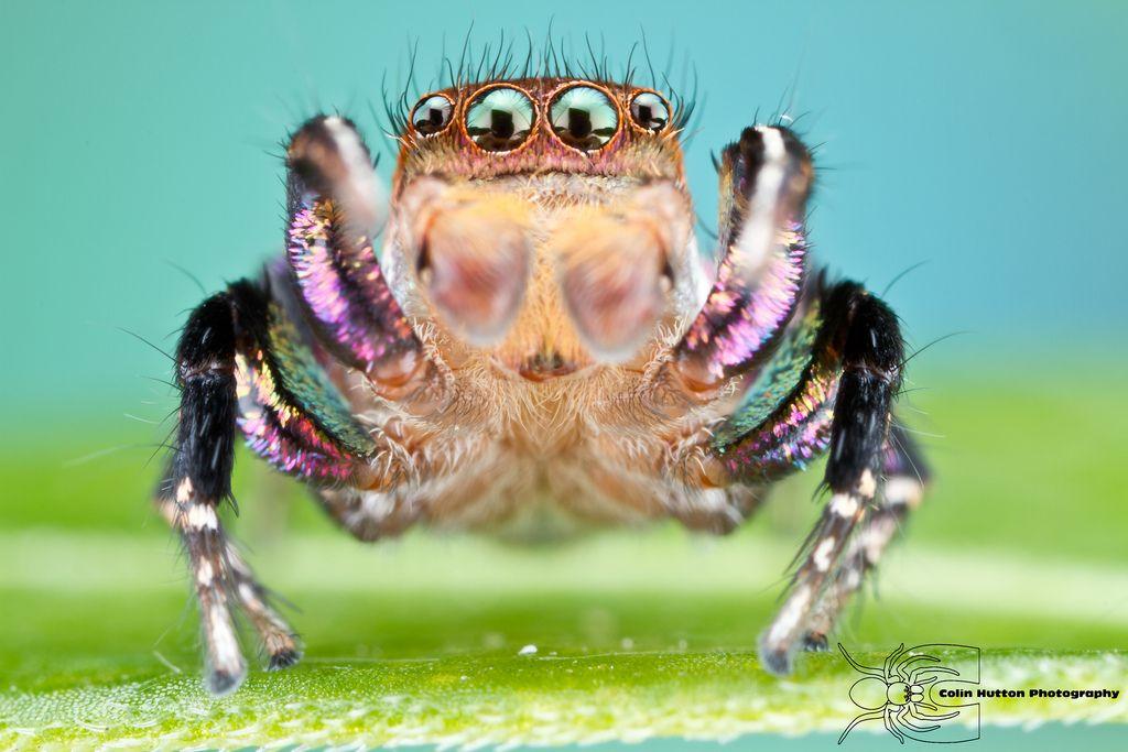 Jumping Spider - Habronattus hallani by ColinHuttonPhoto.deviantart.com on @DeviantArt