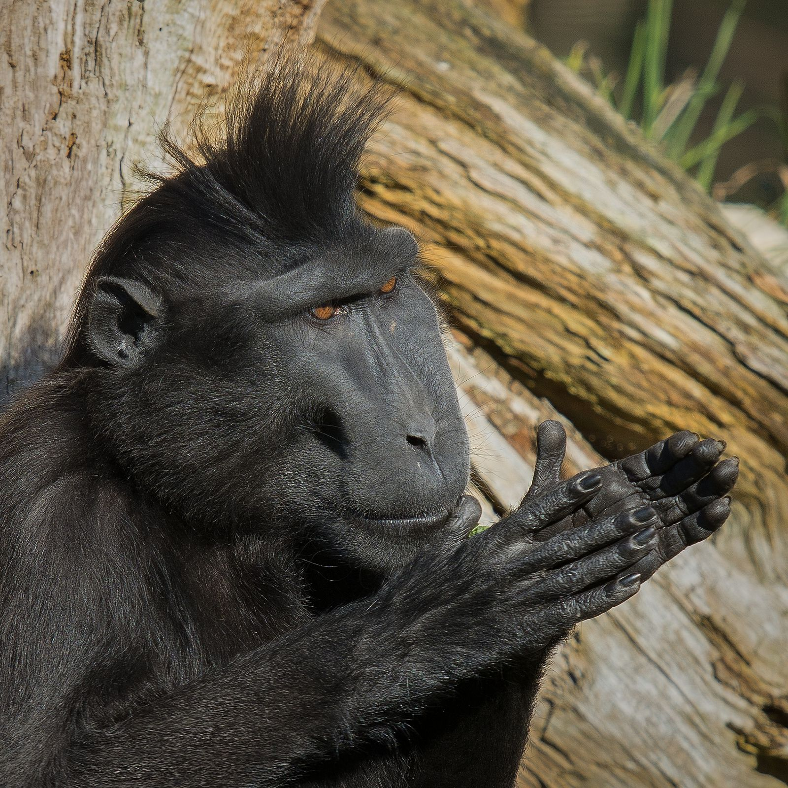 https://flic.kr/p/qZDgkS | Kato - Sulawesi Crested Black Macaque @ Durrell Wildlife Conservation Trust | I think I may have caught Kato hatching a cunning plan for world domination...