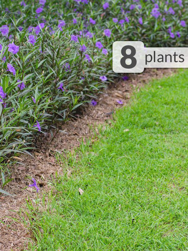 8 Plant Mexican Petunia Ruellia Patio Border Pkg Succulent