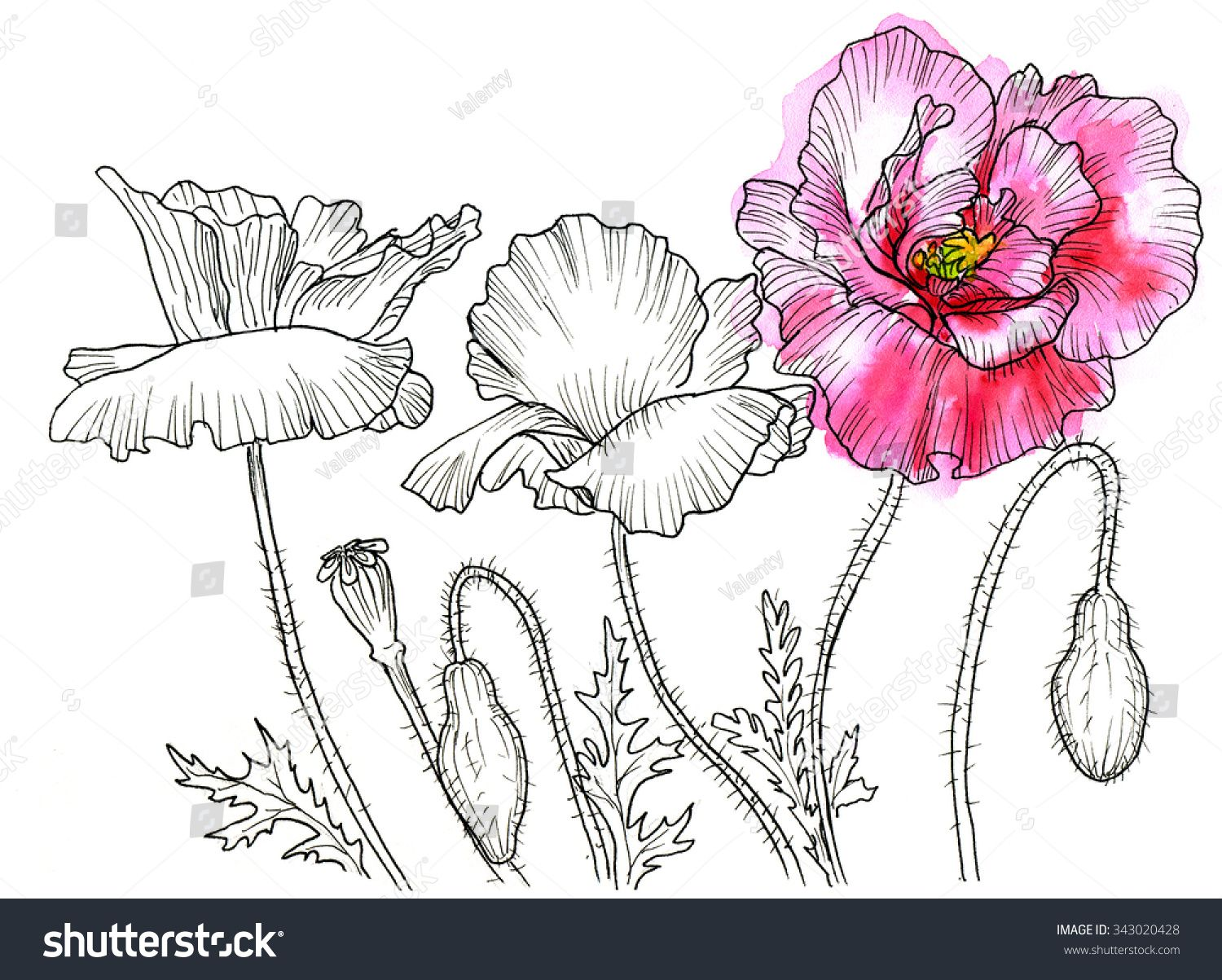 Line Ink Drawing Of Flower Poppy Black Contour On White Background