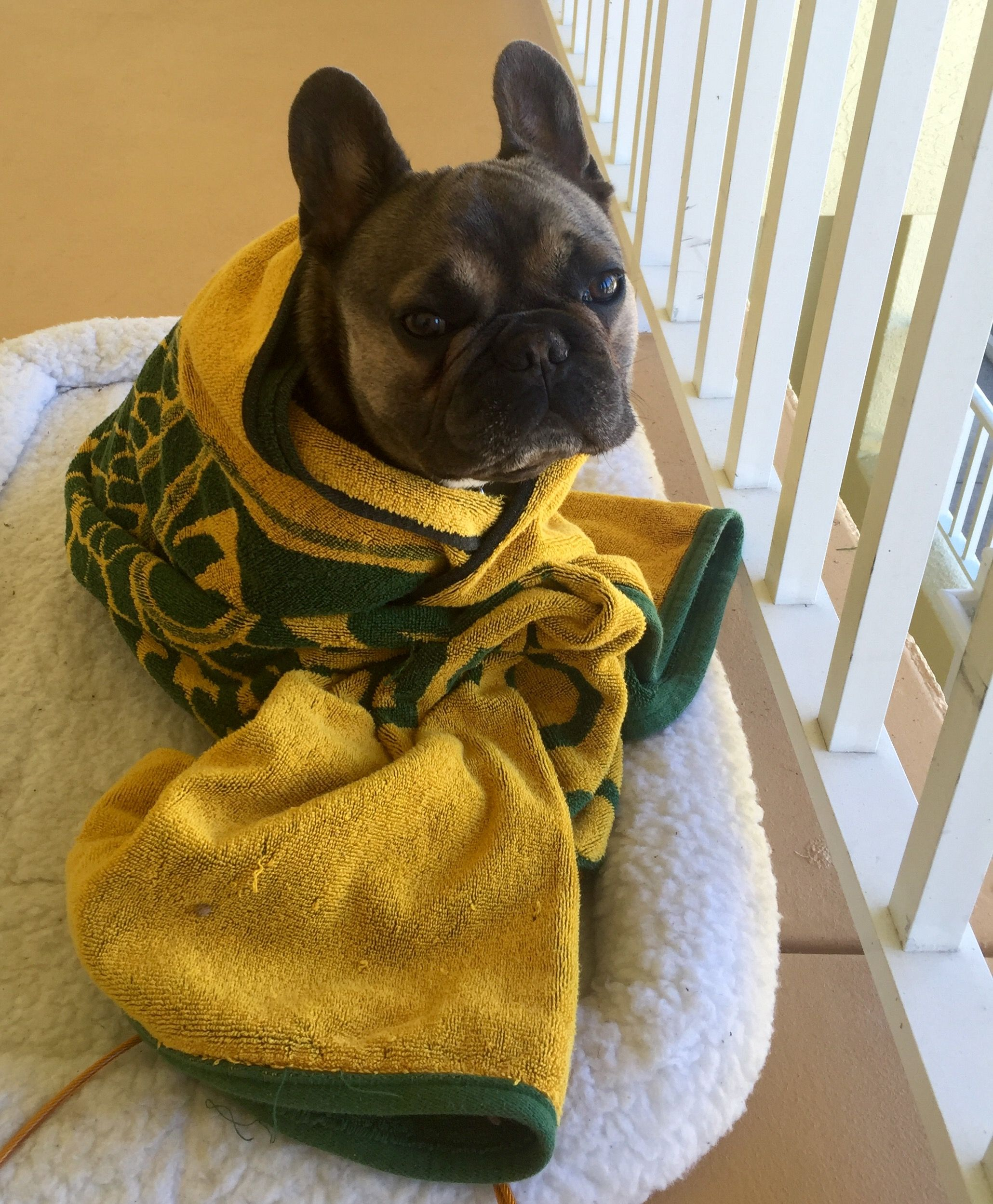 Florida Frenchie in winterplease turn the heat back on!