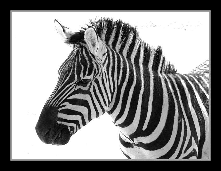 http://fc00.deviantart.net/fs17/f/2007/147/1/a/Zebra_in_BW_by_CaptBogart.jpg