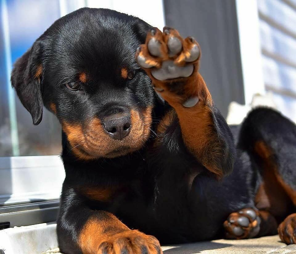 Rottie Corner On Instagram Give Him A Cute Name Tag