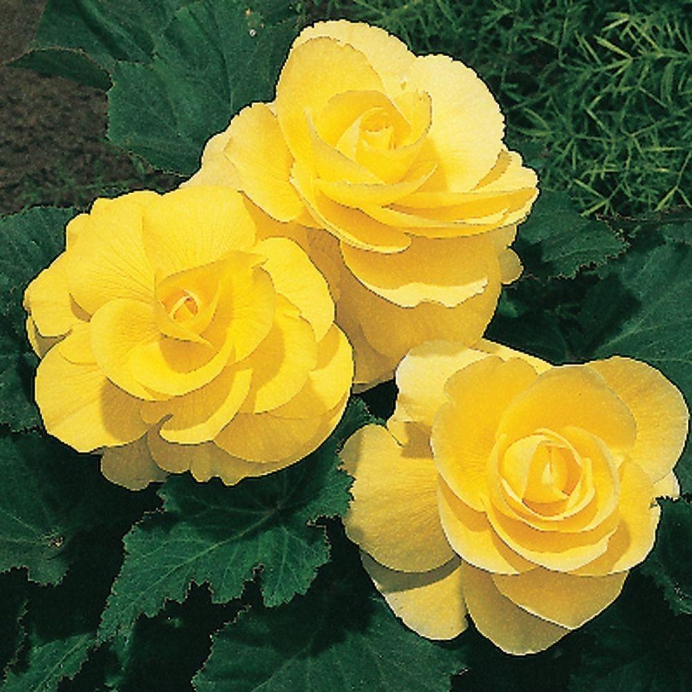 Begonia Roseform Yellow Dormant Bulbs 4 Pack 70255 The Home Depot Flower Pots Flowers Begonia