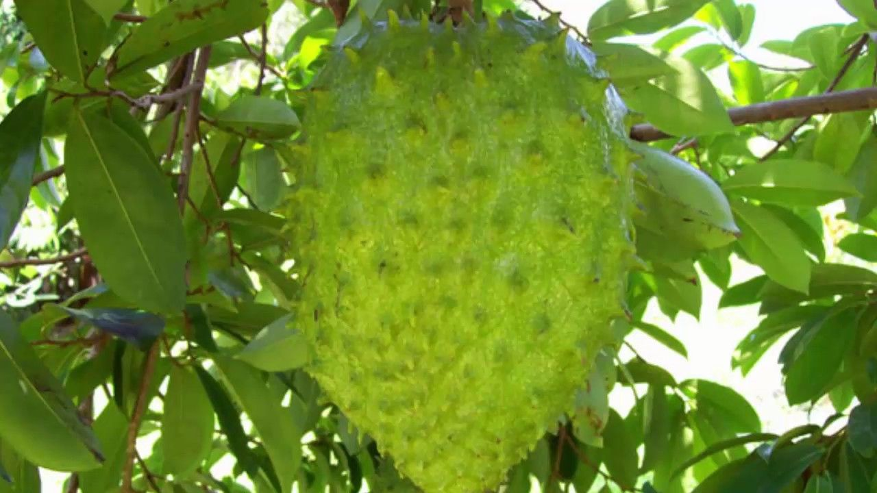 Graviola Fruit Kills Malignant Cells Of 12 Different Types