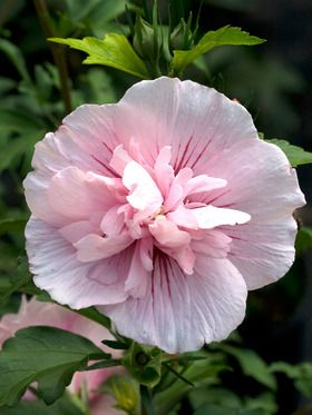 Hibiscus Pink Chiffon, zone 5-9, 8-12' tall, full sun to mostly sunny, late summer to early fall,  Wet Site Tolerant