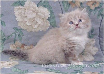 Virginia Doll Face Persian Ct Persian Kittens For Sale Persian Kittens Kittens