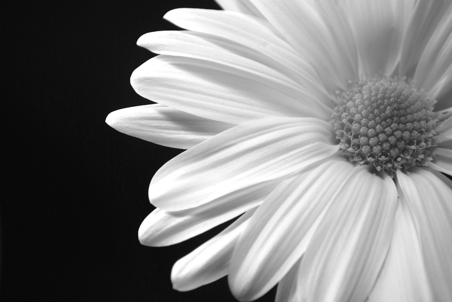 black and white daisy with black background Google