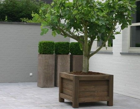 Fig Tree And Boxwood In Planter Bo On A Patio Somewhere