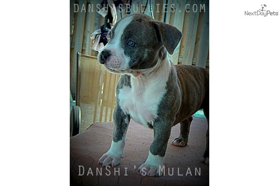 I am a cute American Bully puppy, looking for a home on