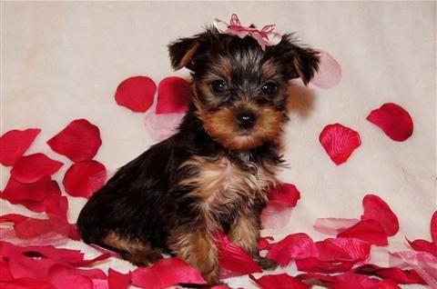 Yorkshire Terrier Yorkie Valentine Baby Yorkie Puppy Yorkie Puppy For Sale Yorkie