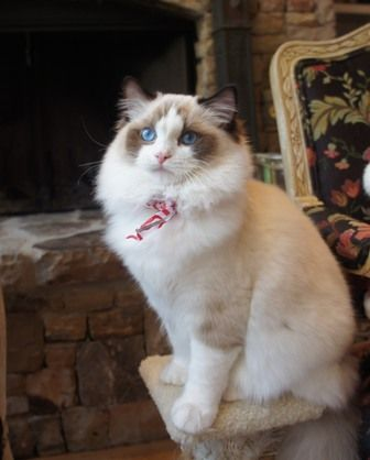 Blue Lynx Mitted Ragdoll Cat Trigg Meowing And Smelling Something Outside ねこ Floppycats Ragdoll Cat Ragdoll Cat Breed Ragdoll Cats For Sale
