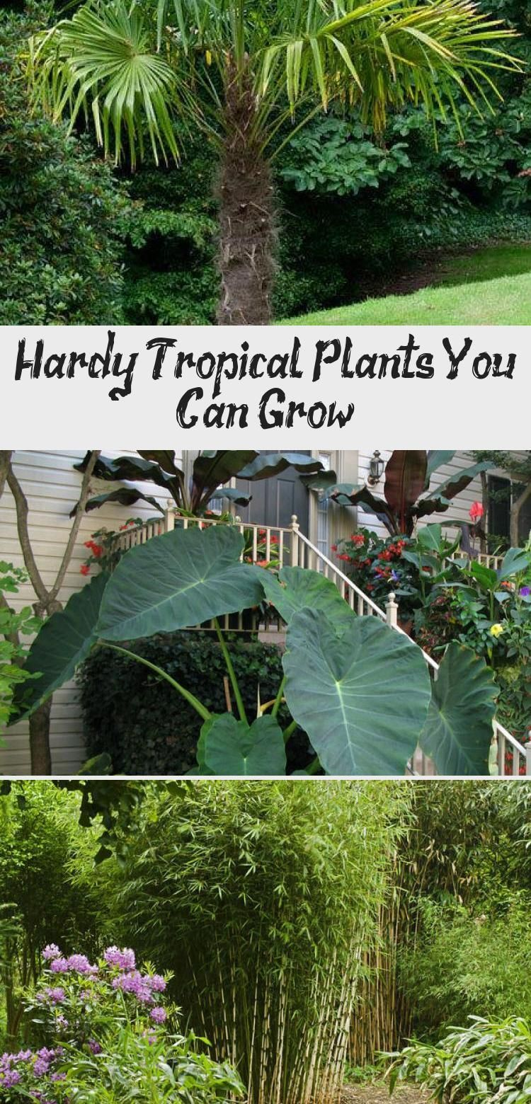 Hardy Tropical Plants You Can Grow! #elephantearsandtropicals We found these hardy tropicals you can grow, just about anywhere! Some of them are pretty hardy in all but the coldest climates. • Hardy Tropical Plants You Can Grow! • Palms, bamboo, elephant ears, banana. Check out these tips! #hardytropicals #hardytropicalplants #hardybananaplant #growhardytropicalplants #gardening #tropicalgardening #tropicalgardenEdging #tropicalgardenColdClimate #tropicalgardenPots #tropicalgardenCourtyard # #elephantearsandtropicals