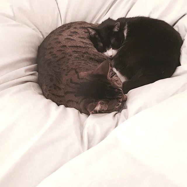 オヤスミナサイ  #cat #cats #chats #bengal #tuxedocat #ベンガル #ハチワレ