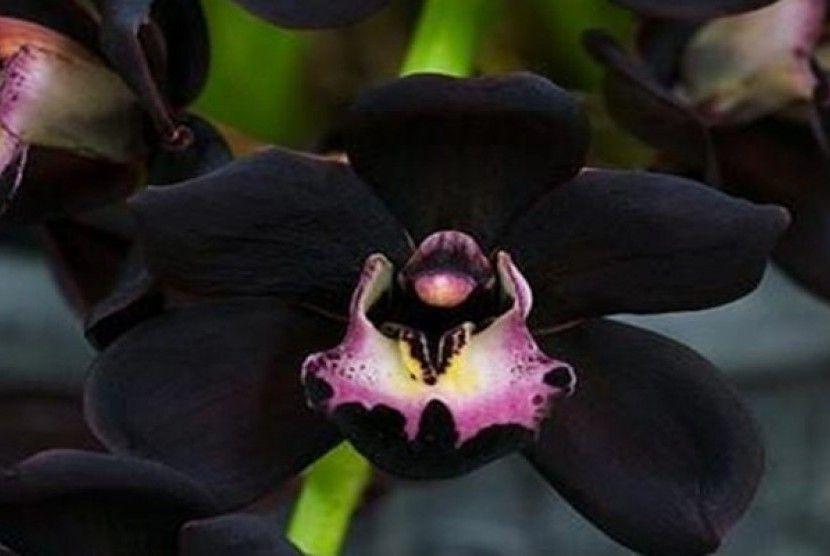 Black Orchid Bloom In Taman Hutan Rakyat Desa Siong Paju Epat Barito Timur Central Kalimantan Indonesia Anggrek Bunga Langka Bunga