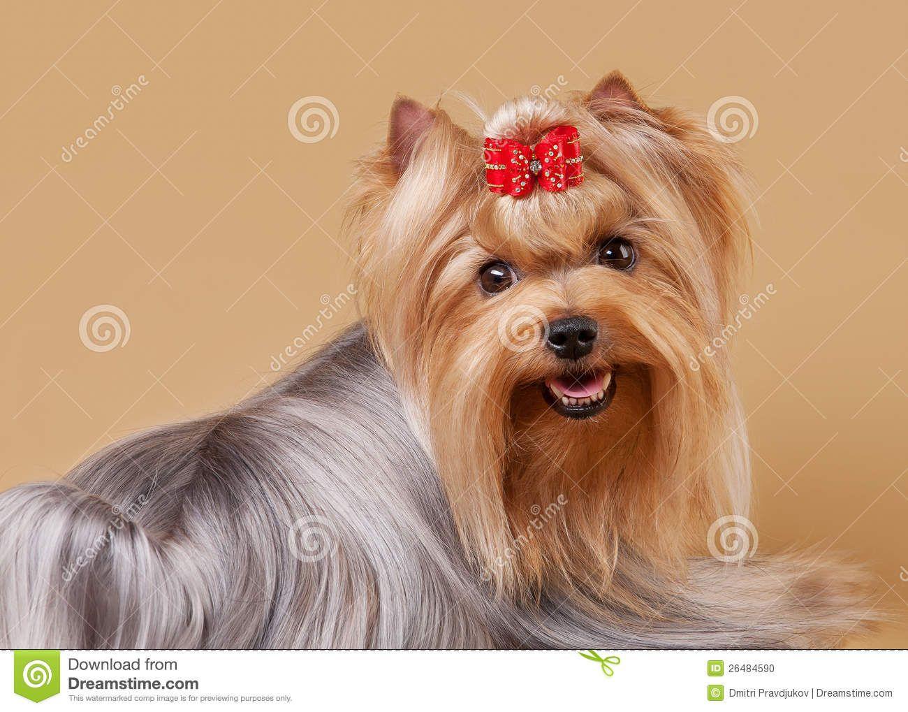 Yorkshire Terrier Puppies Maine